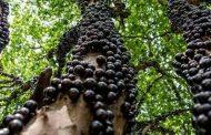 شجرة العنب البرازيلية هي الأغرب من نوعها في العالم