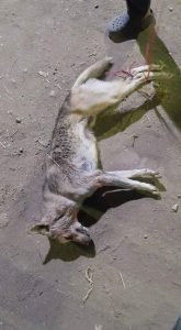 صورة الذئب القتيل