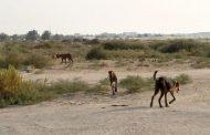 حملة مكبرة لإعدام الكلاب والثعالب الضالة  بالوادي الجديد