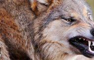 بالفيديو.. رجل يشفق على ذئب كاد أن يموت عطشا ويعرض حياته إلي الخطر