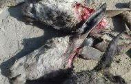 عاجل  بالصور : أهالى مدينة كوم أمبو يستيقظون على بقايا رؤوس حمير مذبوحة بأسوان