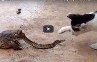 شاهد بالفديو : ضفدع يبتلع افعى ورد فعل غريب من قطة تتابع الامر...