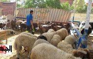 """بشرى للمصريين :التموين يطرح """"500 رأس خروف"""" في منافذ بيع الوزارة والكيلو بـ 60 جنيه"""