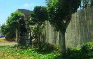 تقليم الاشجار بحديقه امام محولات كرموز القباري حى غرب الاسكندرية