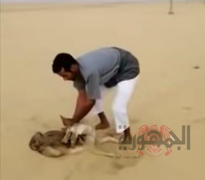 لحظة قبض سعودي على ذئب حياً أكل خرافه