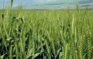 زراعة 124 ألف و465 فدانا بالقمح حتى الآن فى الغربية
