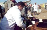محافظ_الشرقية تحصين ( 141 ألف و 522 رأس ماشية ) خلال أسبوعين منذ بدء الحملة القومية الأولى لعام 2019م للتحصين ضد أمراض الحمى القلاعية
