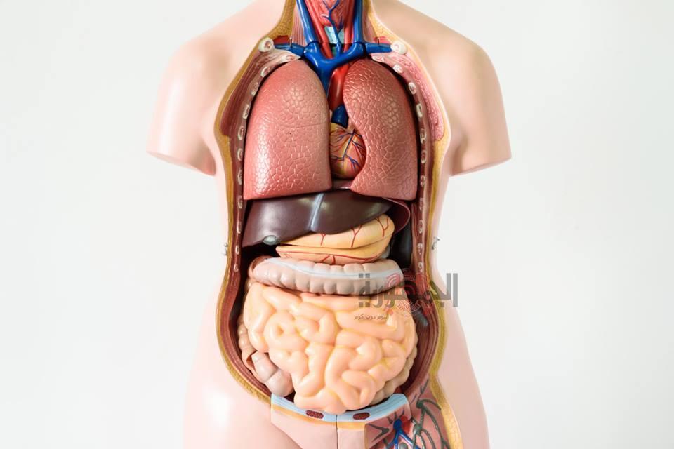 هل تساءلت من قبل عن الأعضاء التي يستطيع جسمك العيش بدونها وكيف يستطيع التكيف صحياً مع غيابها.؟ هذا ما سوف نجيب عليه في هذا المقال.