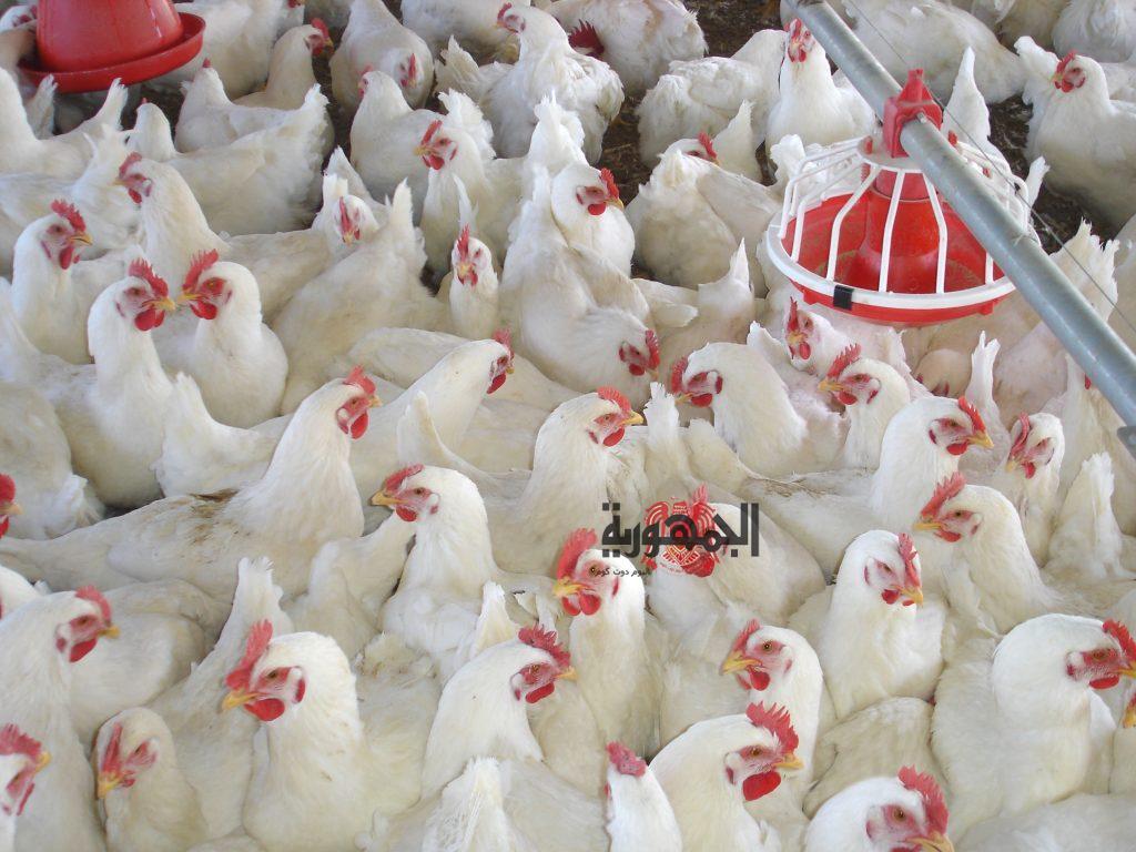 أسعار الدواجن الخميس 2-4-2020 في مصر